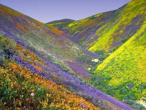 Israel_Mountain_Flowers