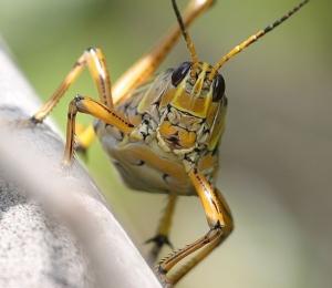 grasshopper8